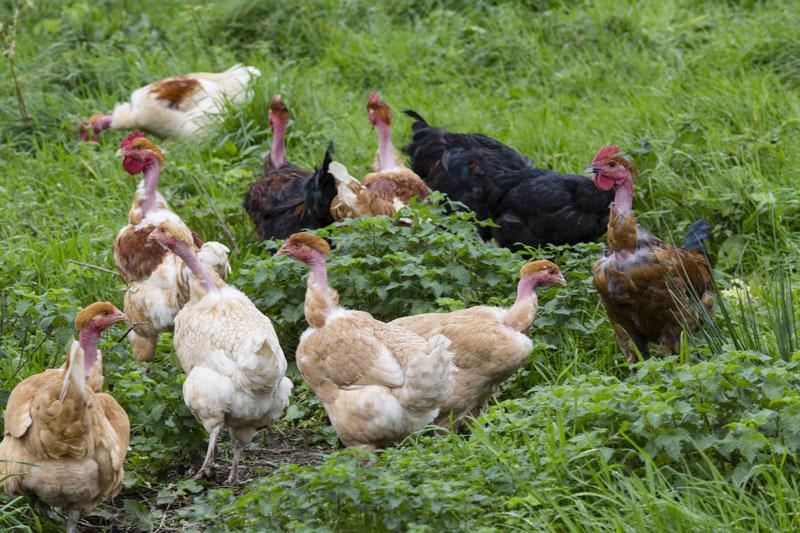 poules-herbes-ferme-kerfornedic-7-web